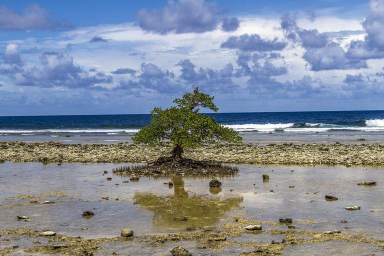 Ancient Mangrove Tree on Beach