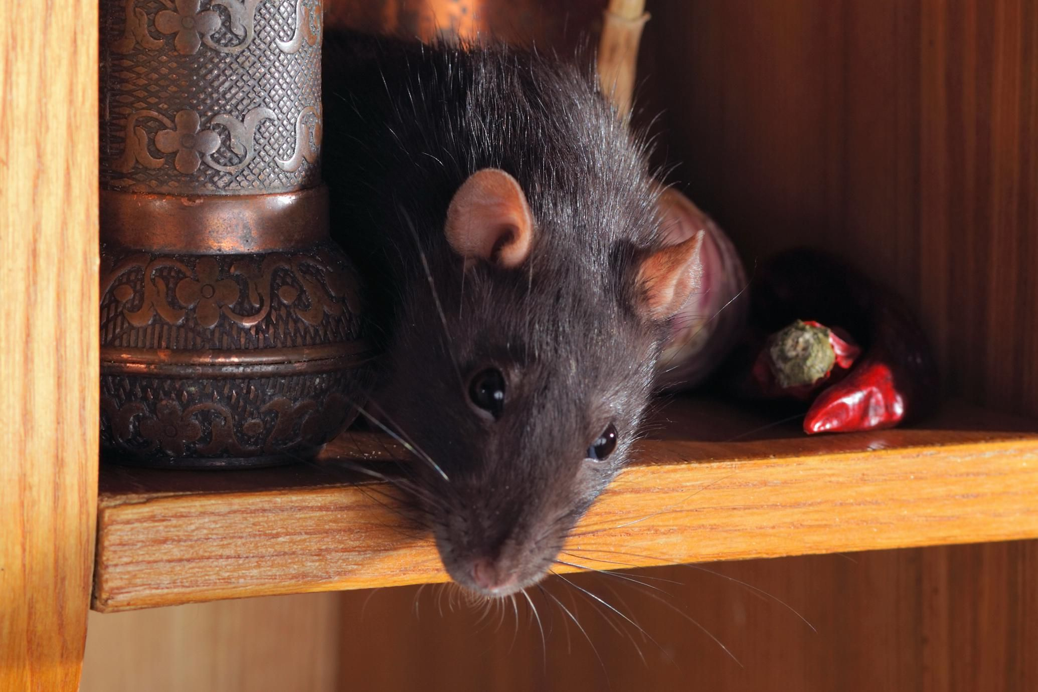 Painting Of Black Rats