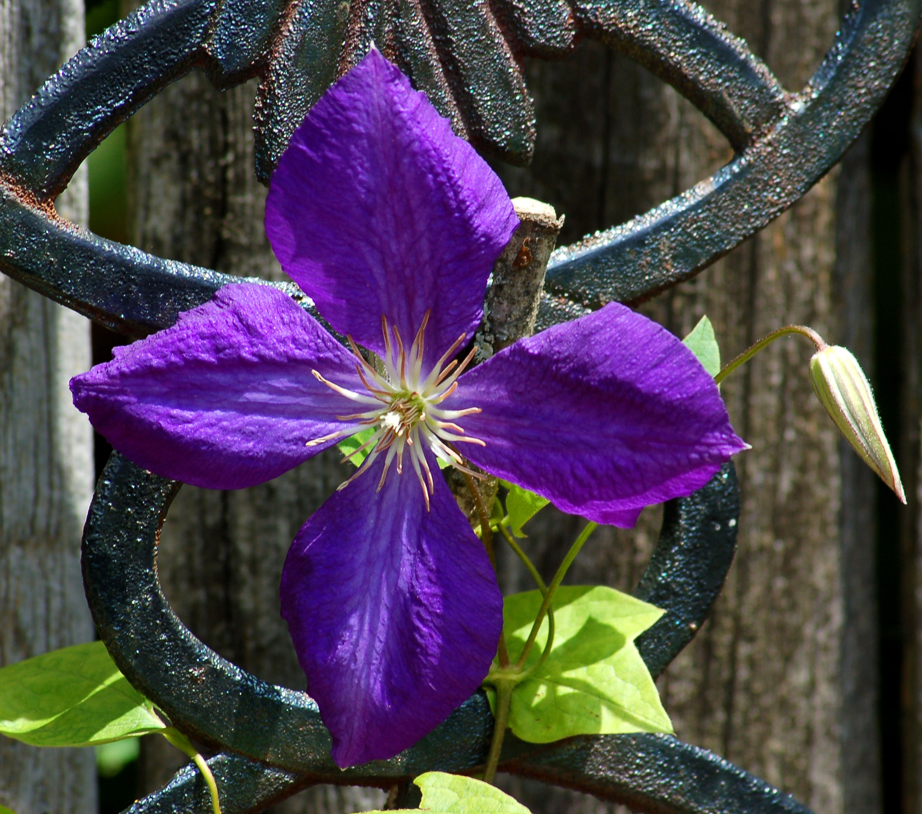 Jackman S Clematis Vines Growing And Pruning Tips