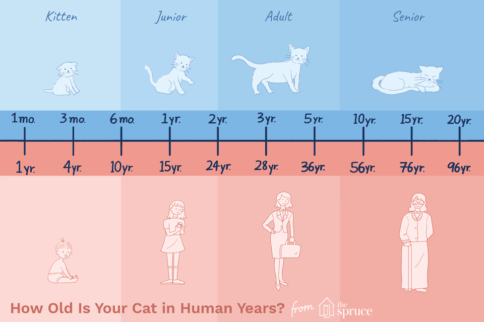 cat age to human age chart