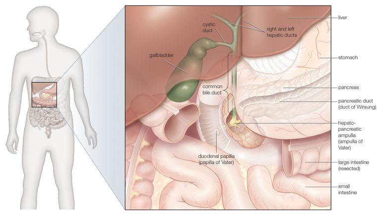 Labeled illustration of the gallbladder and connecting ducts