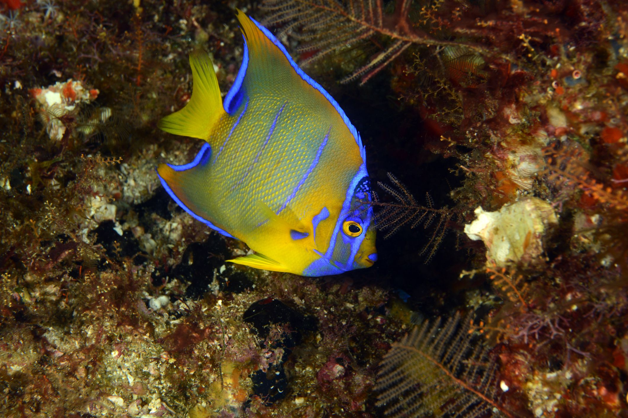 Which Marine Angelfish Are Best For Your Aquarium?