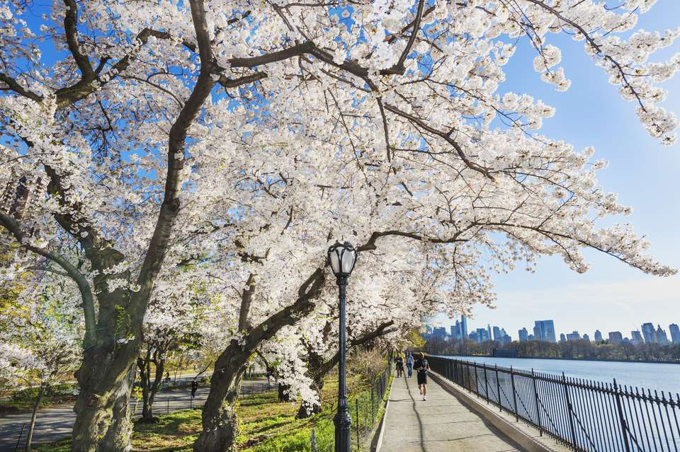 Trees in bloom in spring, Central Park