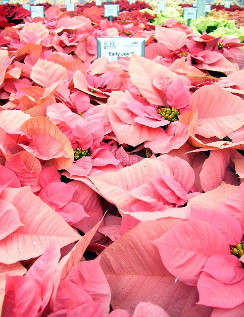 picture of early joy poinsettia