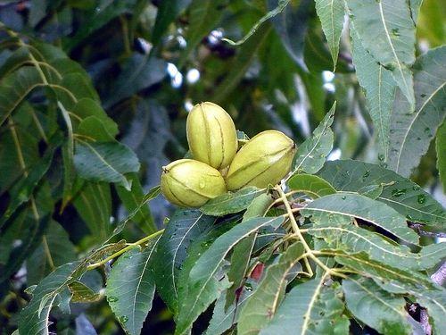 texas state tree pecan tree