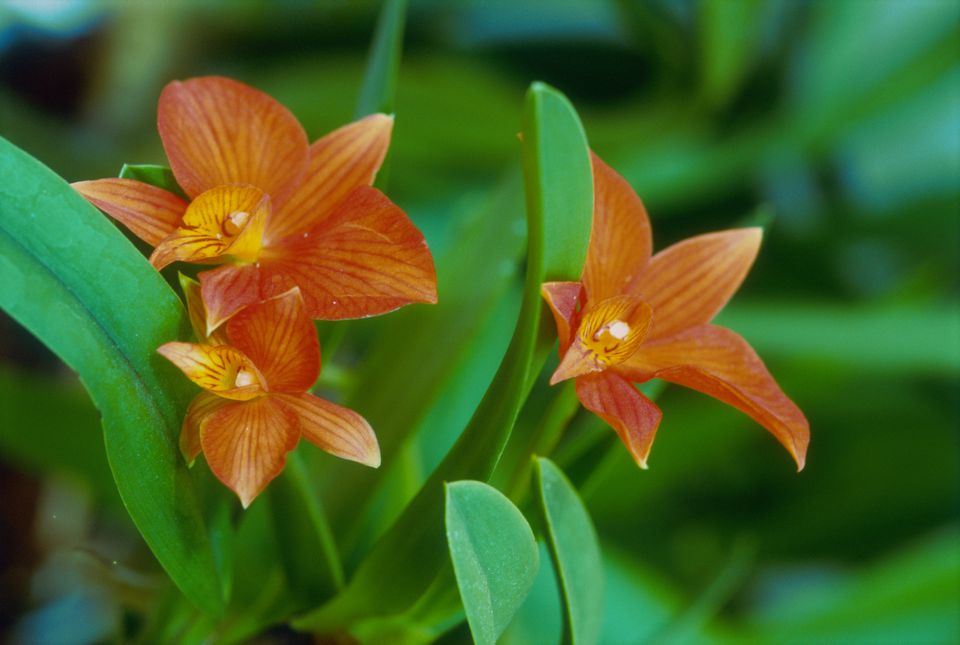 Cattleya orchids (Sophronitis coccinea)