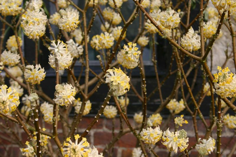If you want to add fragrance to your garden, try a paperbush plant.