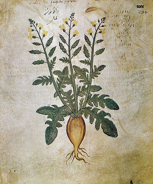 Radish drawing from a book written in the 6th century A.D.