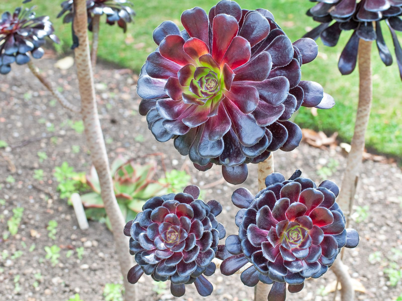growing and caring for aeonium plants
