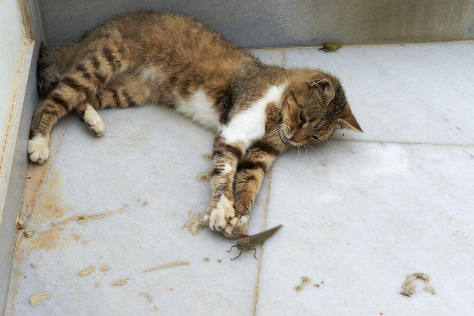 Street cat catching grasshopper, Santorin, Cyclades, Greece