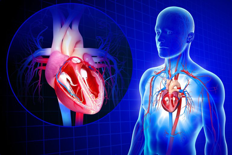 Image result for cardiovascular system
