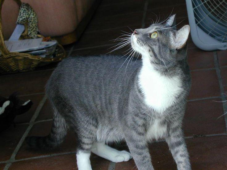 Feline endocrine alopecia thyroid