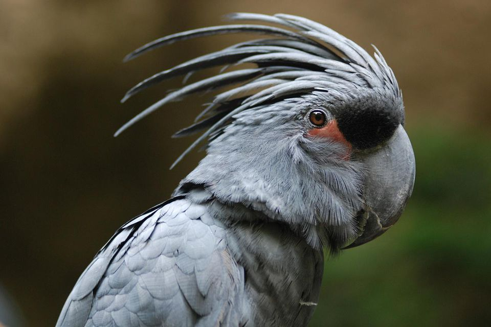 Close up of black palm cockatoo