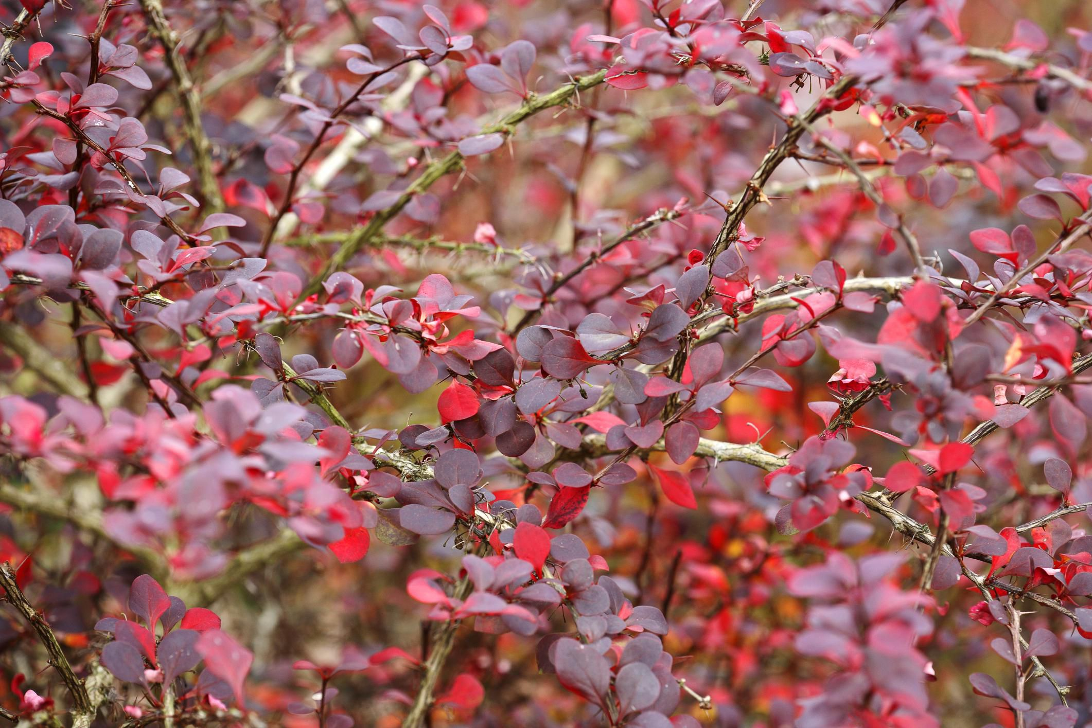 Hedge Bushes: Landscape Trees And Shrubs With Purple Leaves