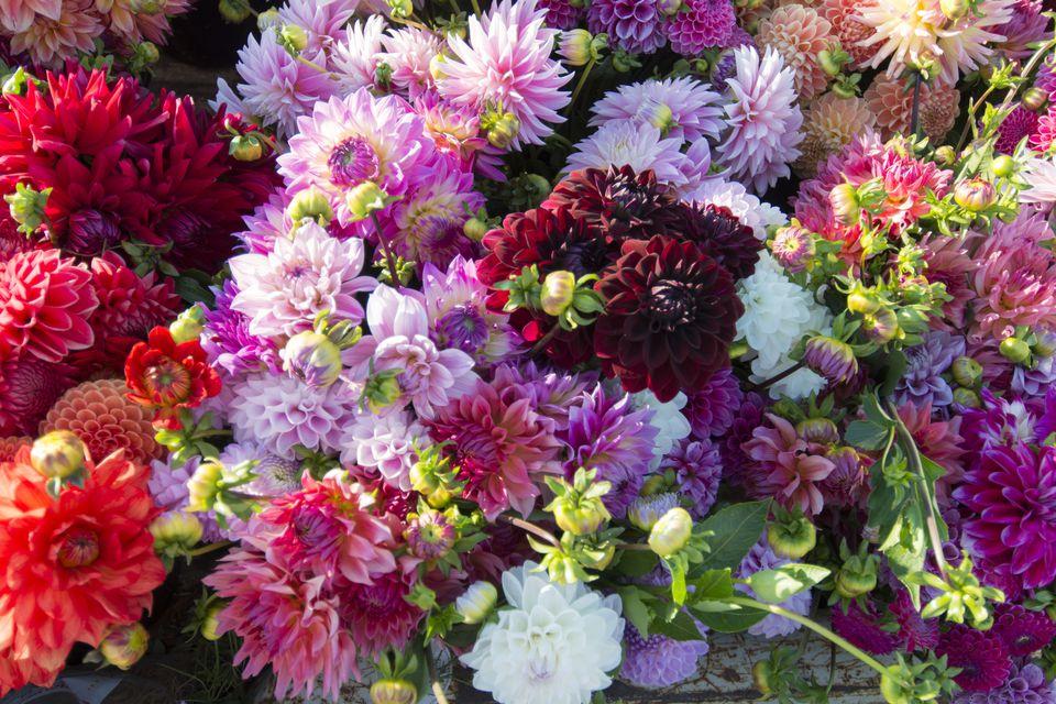 Dahlias used as long lasting cut flowers