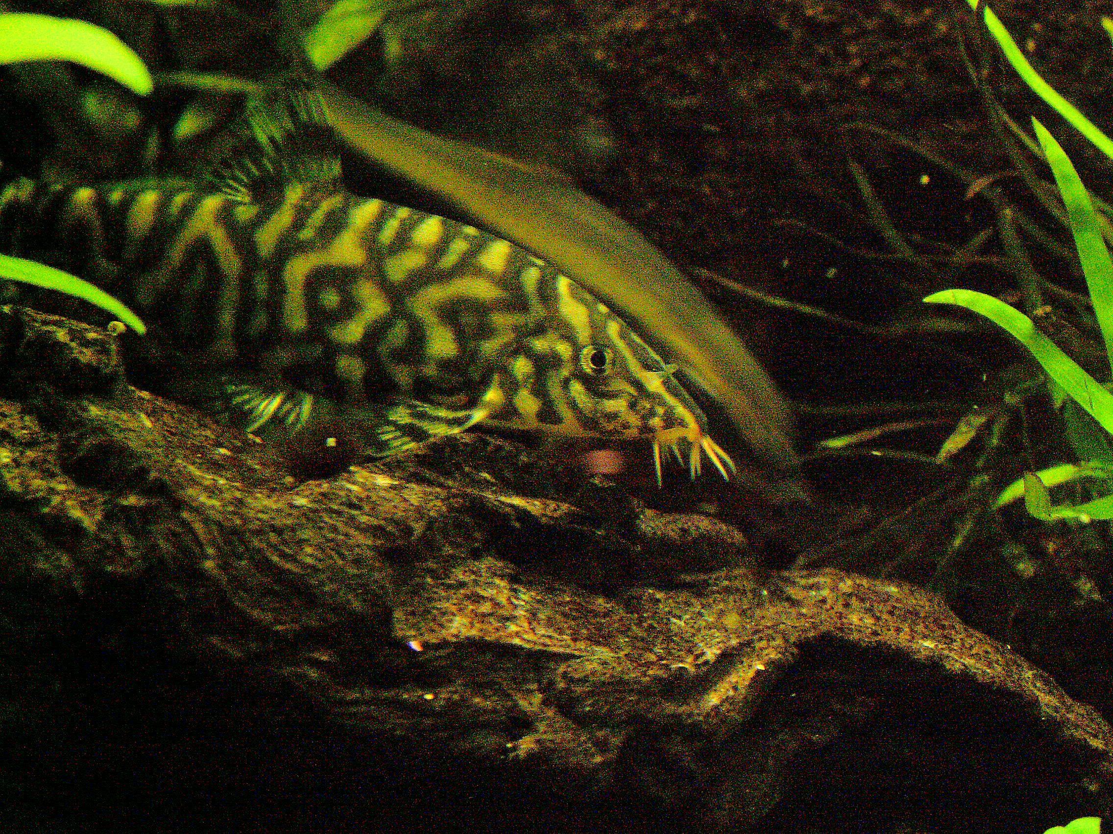 Yo yo loach fish breed profile for Loach fish types