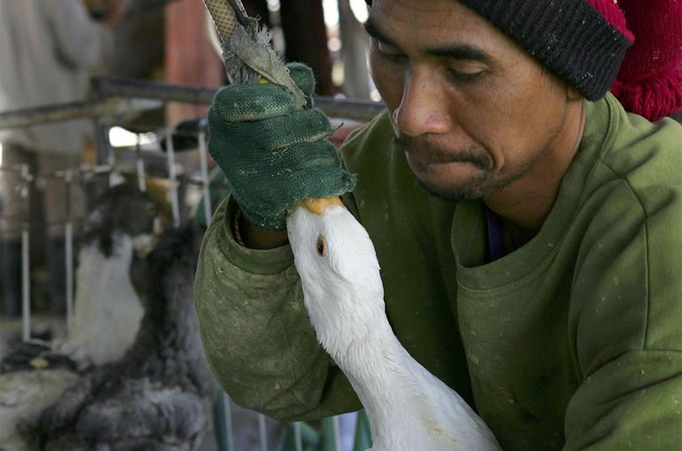 A farm hand uses a tube and a pneumatic pump to force-feed a goose with enriched corn meal to enlarge its liver