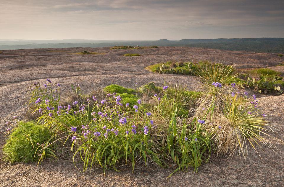 Spiderwort flowers on top of Enchanted Rock, Texas