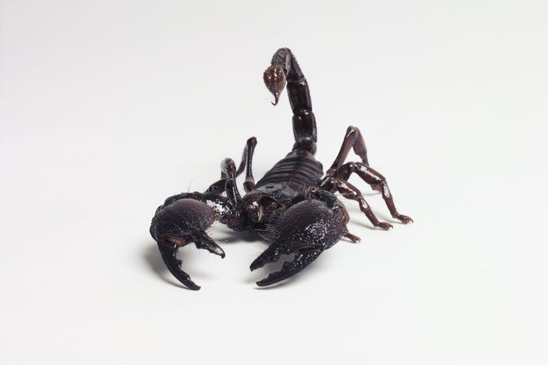 Black scorpion on white background.