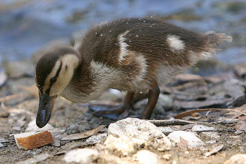 Duckling Bread