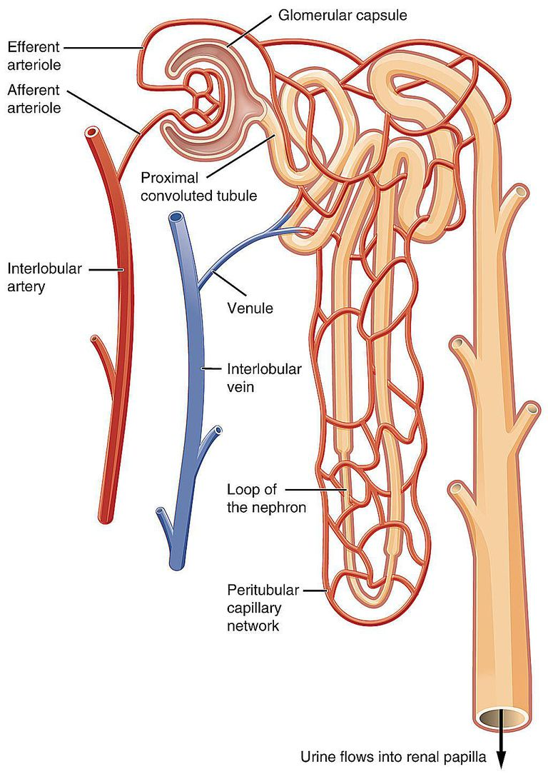 Chart showing blood flow in the nephron