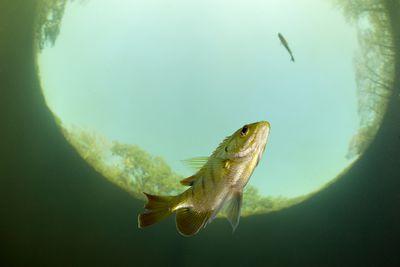 Crappie Fish: Species Characteristics