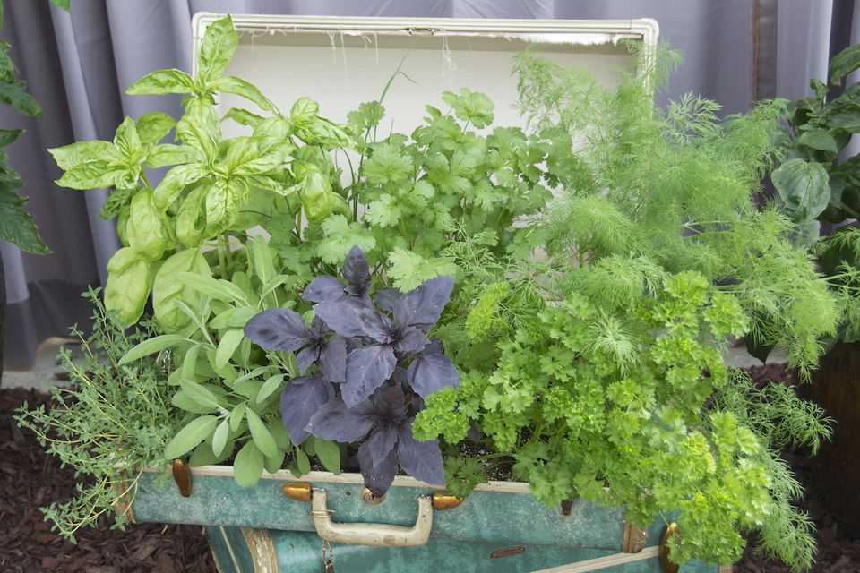 Herb garden in a vintage suitcase