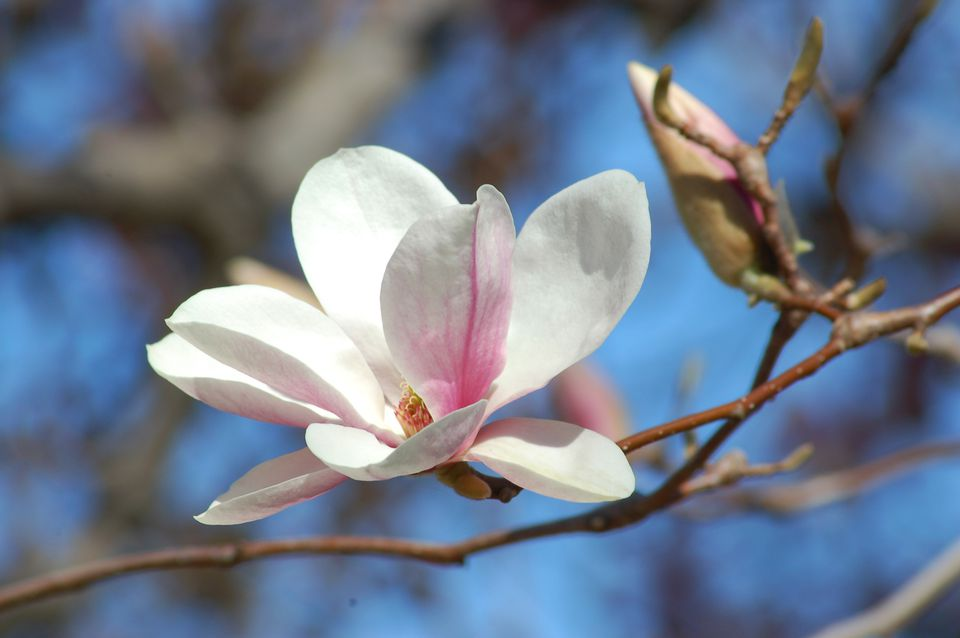 Alexandrina is a saucer magnolia (image). It is one of the many trees on the Smith college campus.