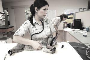 Australian Wildlife Hospital nurse listens to koala's heartbeat.