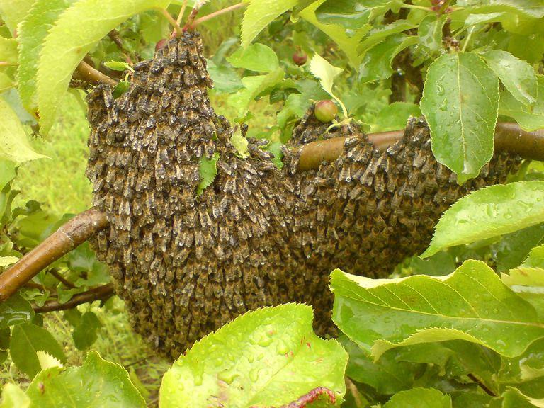 Bee swarm.