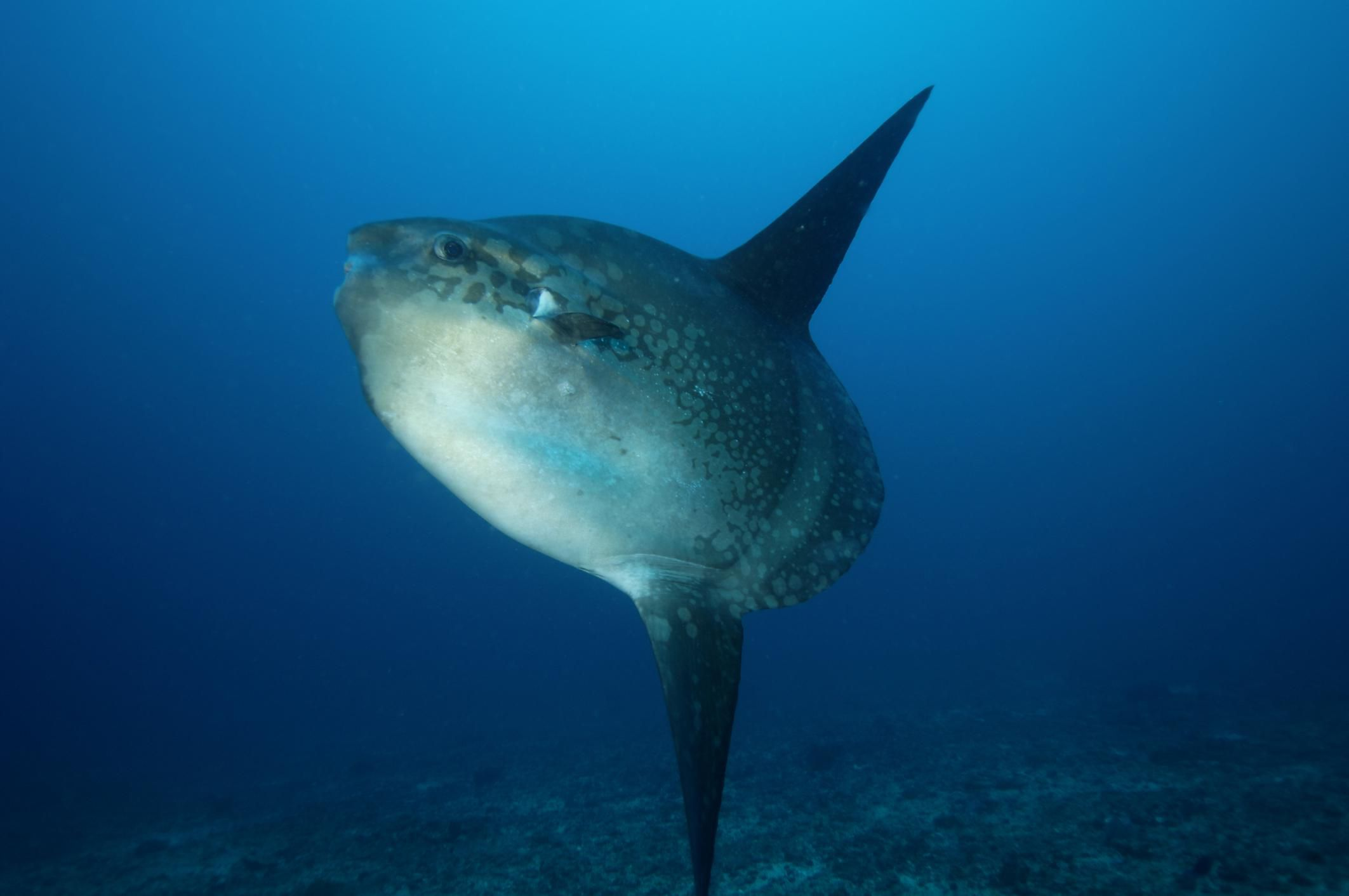 learn 10 things about ocean sunfish