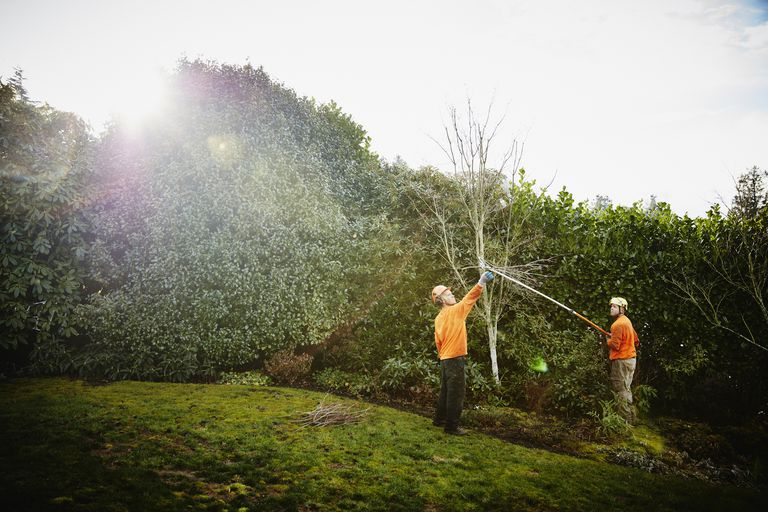 Arborist pruning tree in yard