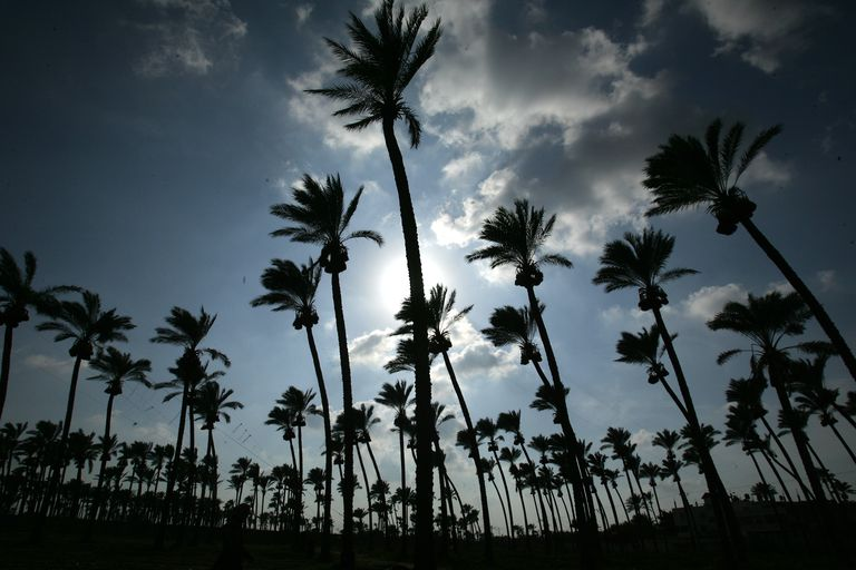 Date Palm Trees, in Deir el-Balah, Gaza Strip
