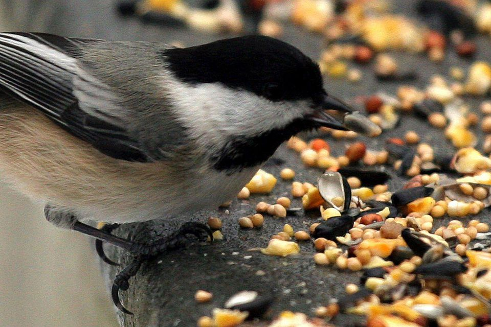 Chickadee Eating Birdseed