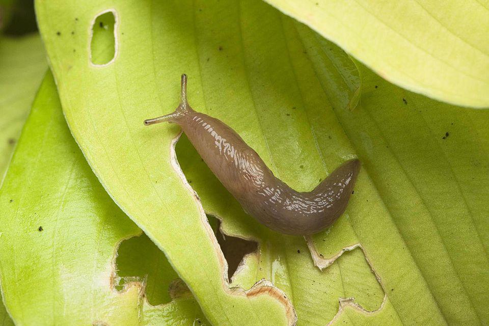 Slug on damaged hosta leaf