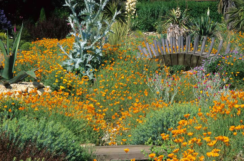 Drought Tolerant Poppies