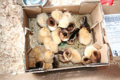 Open shipping box of chicks.