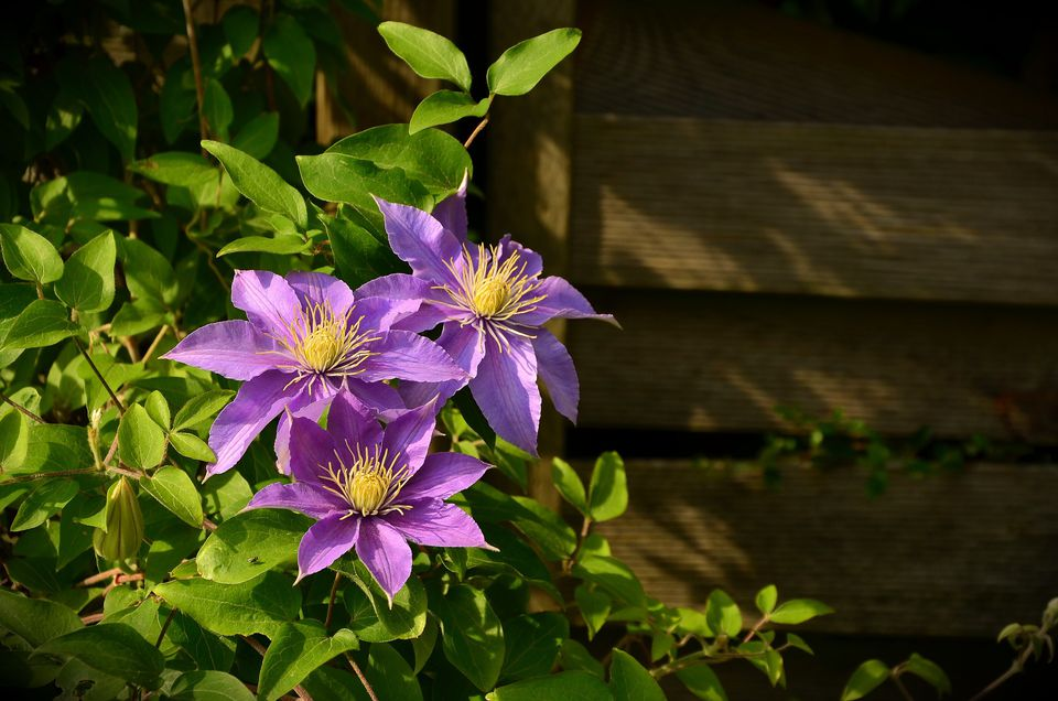 When to prune clematis plants clematis mightylinksfo Gallery
