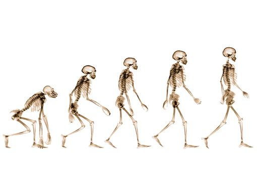 Humans evolved the ability to walk upright