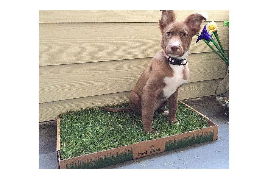 dogs bathroom grass. fresh patch dog potty dogs bathroom grass