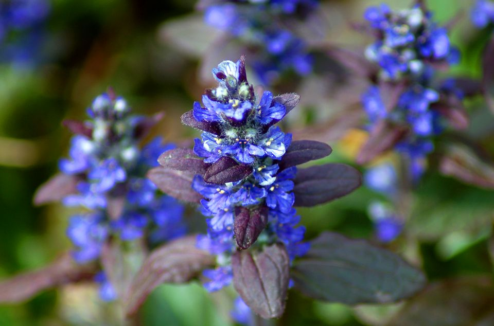 Ajuga ground cover in bloom with dark foliage.