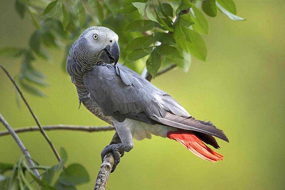 African Grey Parrot (Psittacus erithacus) captive