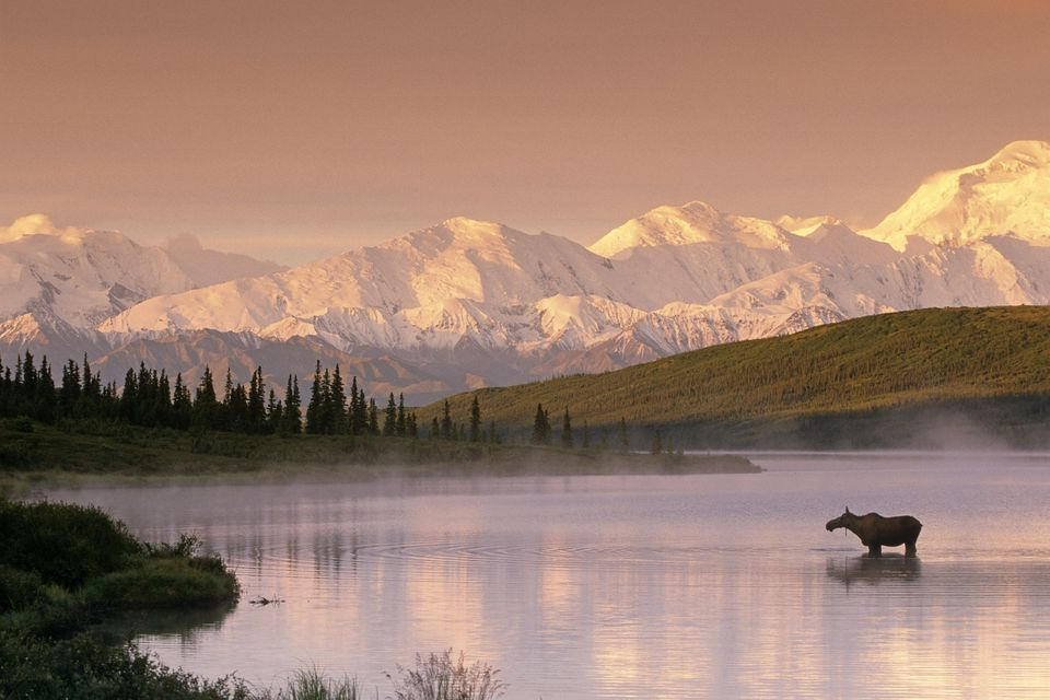 Moose Standing In Wonder Lake Below Alaska Range In