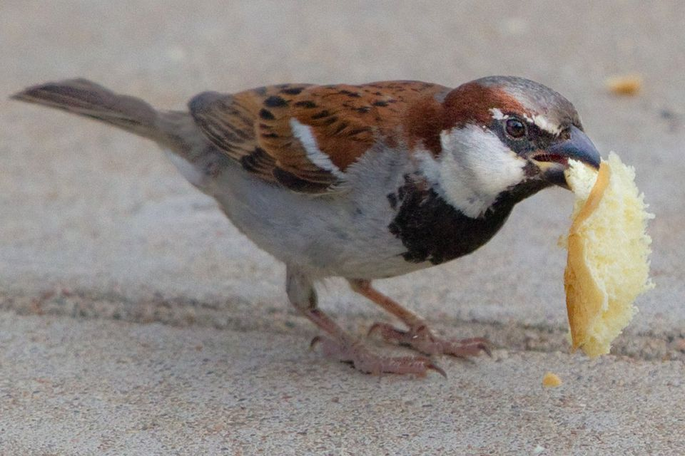 House Sparrow Eating Bread