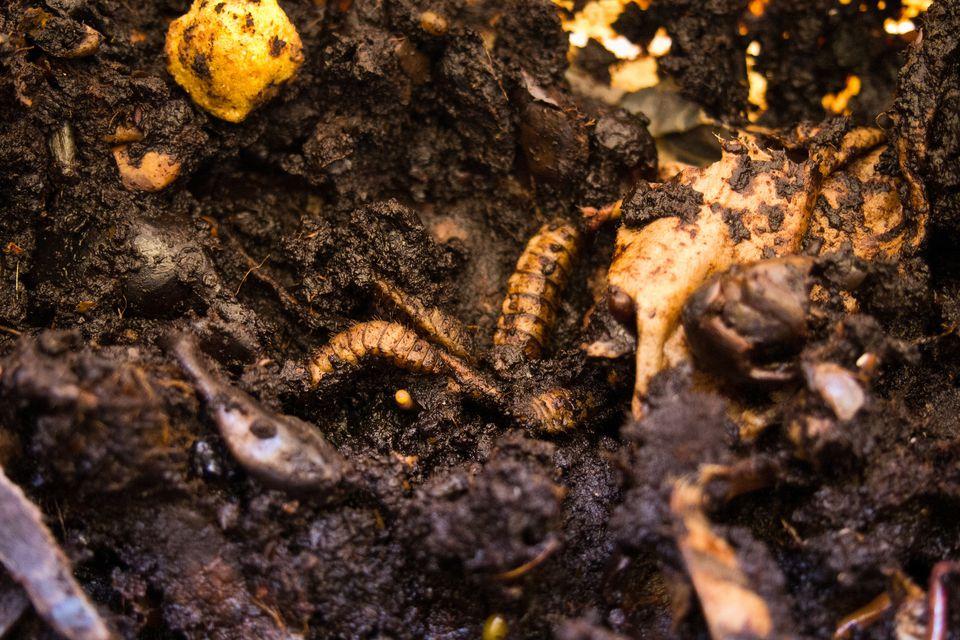 Hermetia illucens maggots
