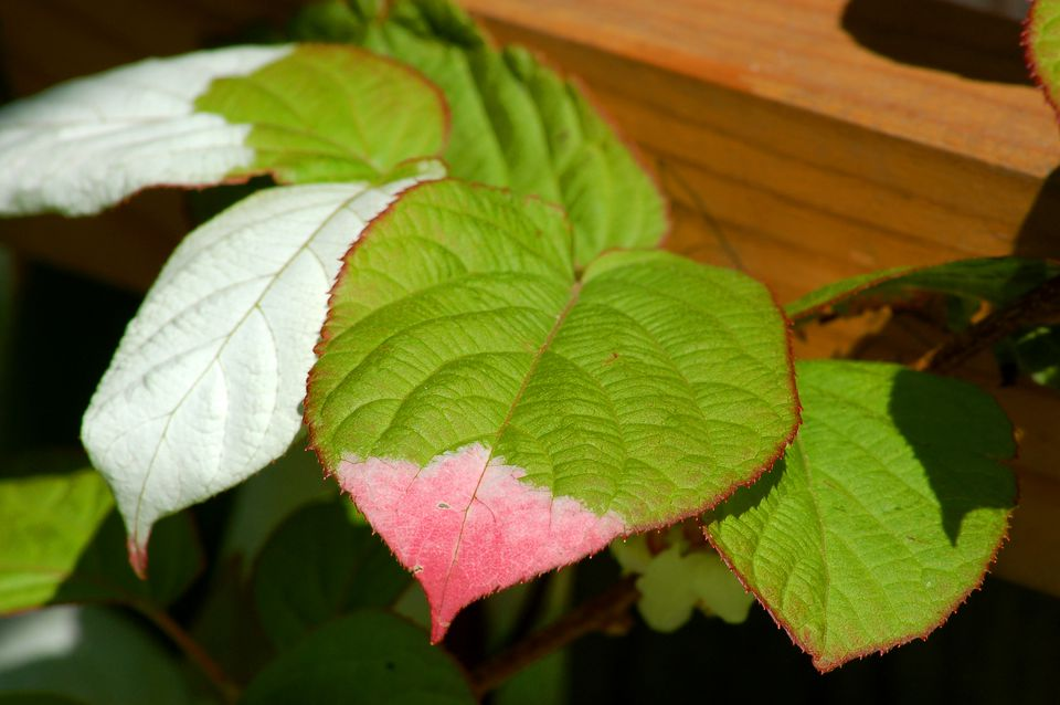 Male arctic kiwi vines displaying three colors on their leaves: green, white, and pink.