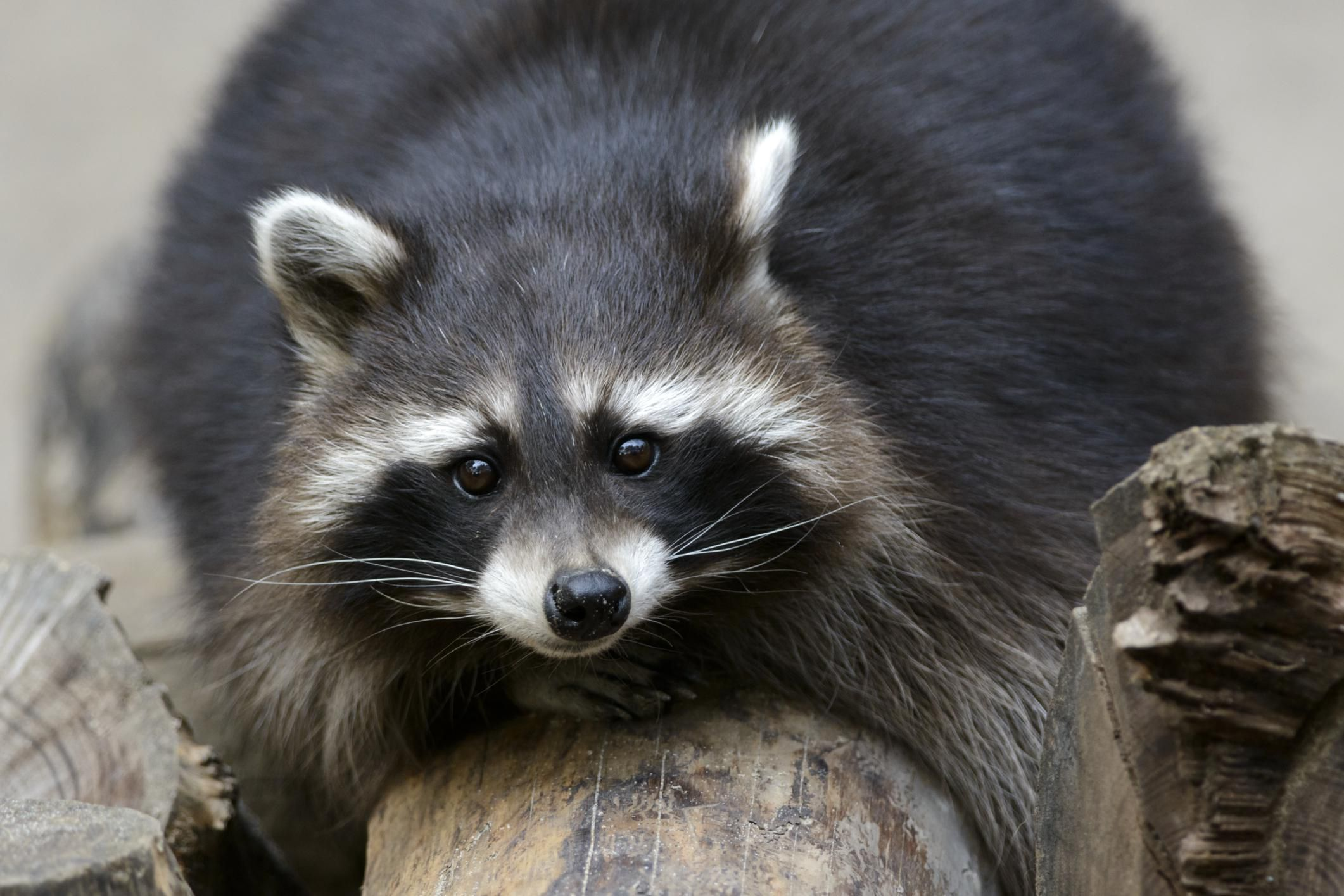 Wild Animals as Pets - Legal and Ethical Issues