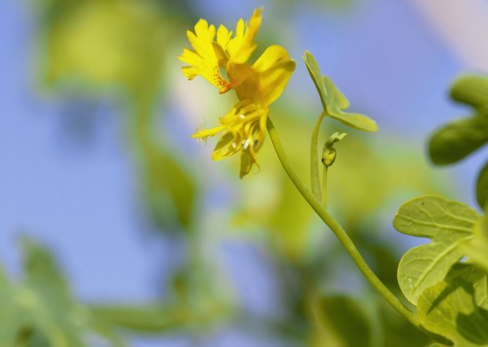 Tropaeolum peregrinum (Canary creeper) flower, Les jardins de vertume, september