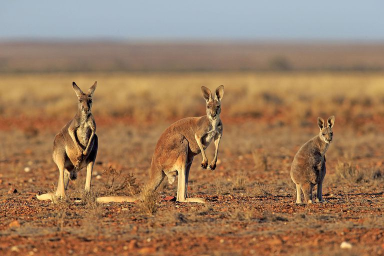 Picture of red kangaroos, a species of marsupial.