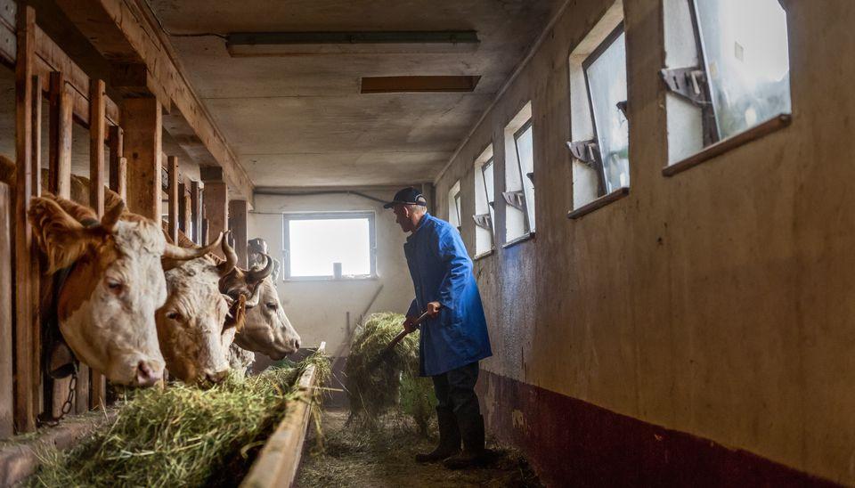 farmer feeding cows hay in barn